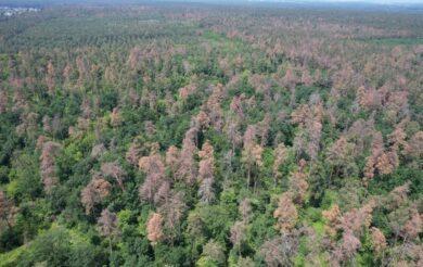 Біля Черкас масово всихає сосновий ліс (Відео)
