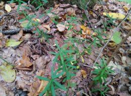 рослина бересклет